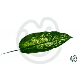 List Difenbachia Zelený 41cm