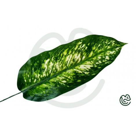 List Difenbachia Zelený 51cm